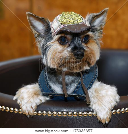 Decorative miniature dog dressed in a costume. Clothing for Pets is a lifestyle. Breed the Yorkshire terrier - dogs for the rich lady living toy.