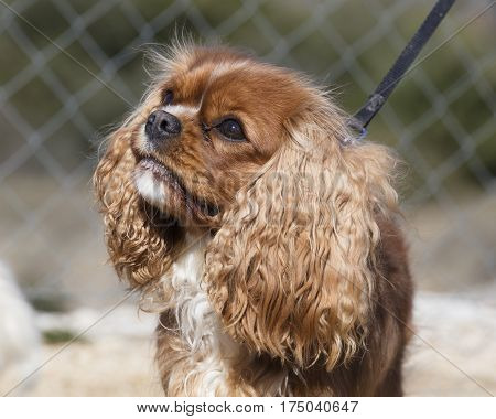Dog King Cavalier Spaniel