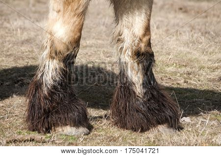 Closeup of  heavy horse hoofs and foot hair on winter meadow