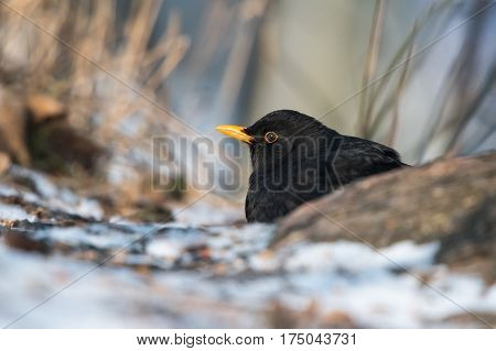 Common blackbird (Turdus merula) resting behind the root of the tree.Winter european birds.