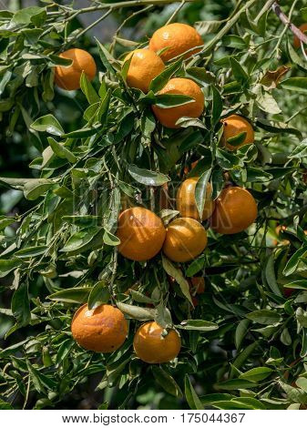 Mandarines. Ripe Mandarines hanging on a tree. Growing Mandarines