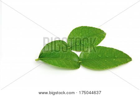 close up from Kaffir lime leaves with white background