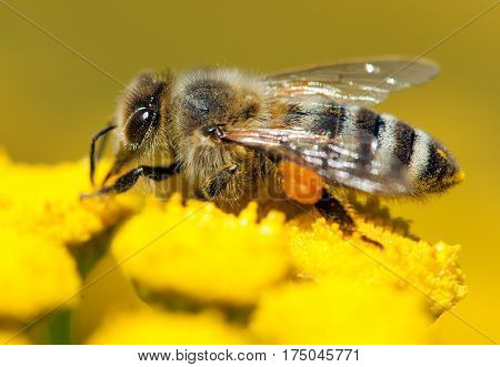 detail of bee or honeybee in Latin Apis Mellifera european or western honey bee pollinated of the yellow flower golden honeybee on flower