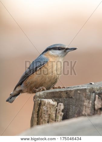 The Eurasian nuthatch or wood nuthatch (Sitta europaea) sitiing on the stump in a winter time.