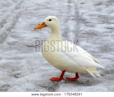 Albino mallard duck over the snow background