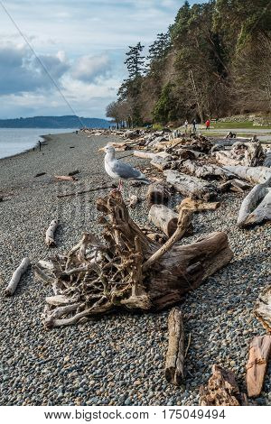 A seagull sits on a driftwood log on shore at Lincoln Park in West Seattle Washington.