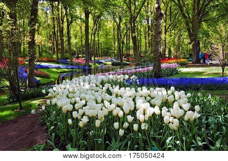 Colorful springflowers and blossom in dutch spring garden Keukenhof (Lisse Netherlands)