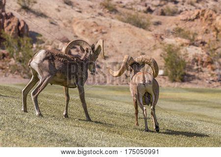 a pair of desert bighorn sheep rams in the rut