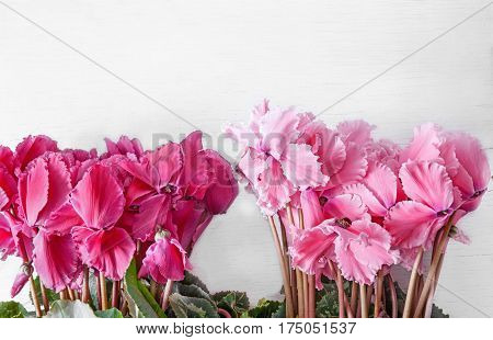 fresh bright pink and red cyclamen on a light background