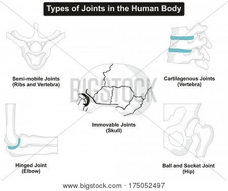 Types of Human Body Joints Anatomy including semi-mobile cartilagenous immovable hinged ball and socket for ribs vertebra skull elbow hip for medical education and health care