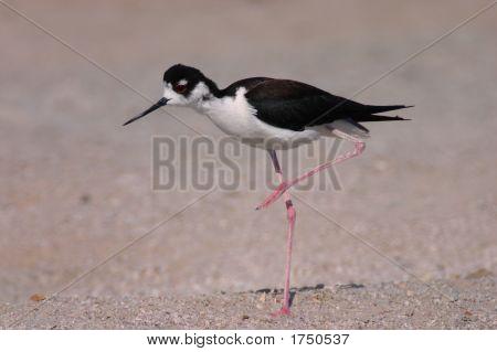 Black-Necked Stilt With Raised Leg At The Salton Sea