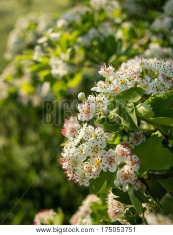 Inflorescence of hawthorn flowers on a sunny morning in the meadow