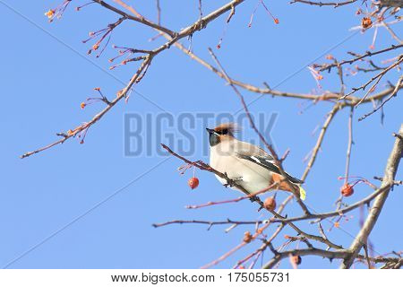 Portrait of Bohemian waxwing (Bombycilla garrulus) sitting on a wild apple tree, Northern Russia