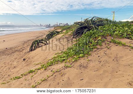 Creeping Green Dune Vegetation With Purple Flowers And Aloes