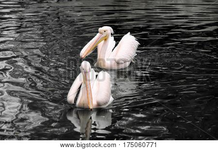 Oil spills concept. Pelicans swimming in polluted water