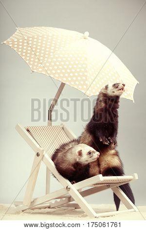 Ferret couple portrait on beach chair in studio