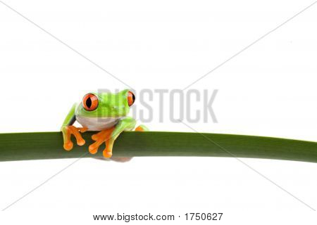 Tree Frog On A Leaf
