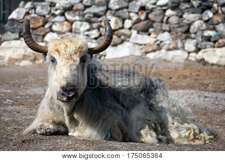 White and grey yak (bos grunniens) which is lying outside of lodge in nepalese himalayas Everest area Nepal