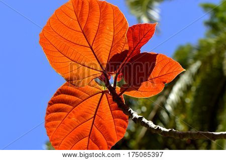 Roxburgh fig Latin name Ficus auriculata autumn leaves