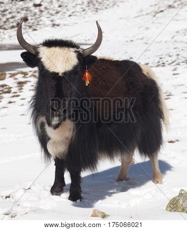 Black and white yak on snow background in Annapurna Area near Ice lake Nepal
