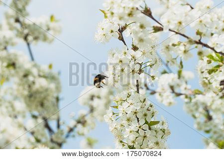 Branches of a white flowering cherry against the blue sky. Bumblebee on flower. Concept of beautiful nature spring background. Seasons, gardening, admiring flowers