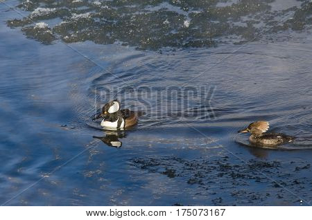 Pair of Hooded Mergansers Swimming in a Cold Slushy Winter River