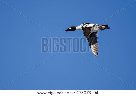 Common Goldeneye Flying in a Blue Sky