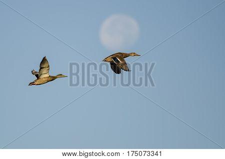 Pair of Mallard Ducks Flying Past the Moon