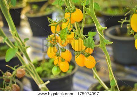 branch of fresh yellow cherry tomatoes hanging on trees in organic farm Solanum lycopersicum