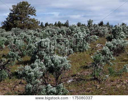Spring green color on sagebrush on a hill with juniper trees at the top in Central Oregon.