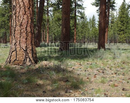 Large ponderosa pine trees with their uniquely textured bark among wild grasses and pine cones on a spring day near Black Butte in Central Oregon.
