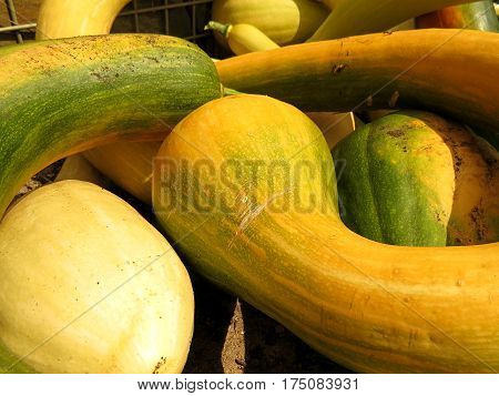 Zucchini Courgette Marrow harvest garden vegetable grow food