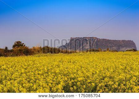 Canola field at Jeju-do Seongsan Ilchulbong, Jeju, South Korea