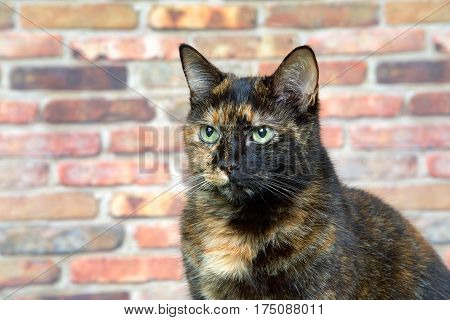 Portrait of a Tortoiseshell Tortie cat by brick wall looking to viewers left. Tortoiseshell cats with the tabby pattern as one of their colors are sometimes referred to as a torbie.