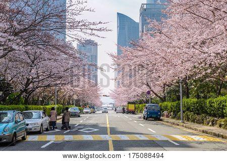 Cherry Blossom at Busan city, South Korea
