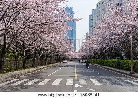 Cherry Blossom at Busan ciy, South Korea