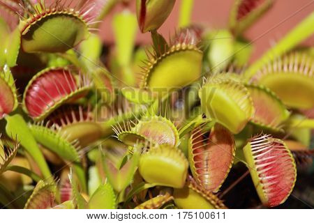close up of venus fly trap, the insect eater