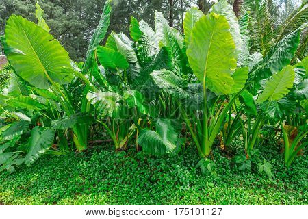 Colocasia plant, Elephant ear, Cocoyam, Dasheen, Eddoe, Japanese taro and fern