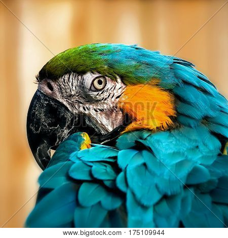 Macaw parrot portrait square composition eye contact close up shot