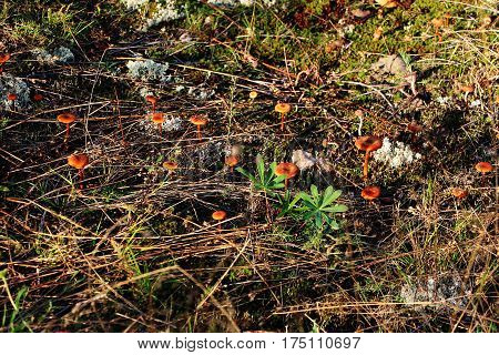 On moss is growing a lot of poisonous inedible and dangerous mushrooms