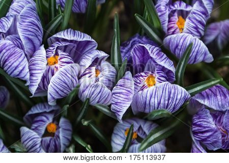 Close-up of lush vibrant violet and white crocuses the first harolds of spring at greenhouse.