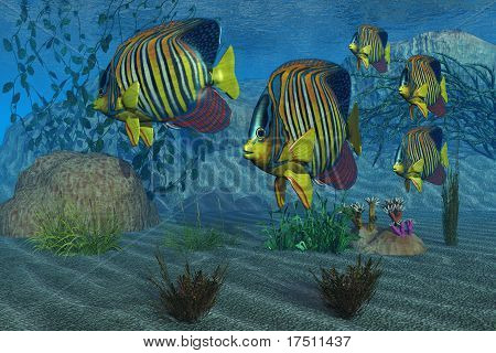 poster of Beautiful Royal Angelfish shimmer with their gorgeous colors near a coral reef.
