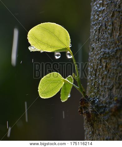 Spring leaf bud