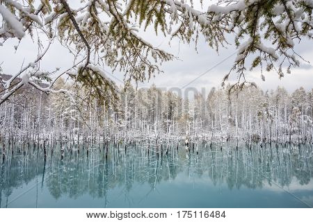 Late autumn of snowy blue pond on dead trees upper snowy larch branches