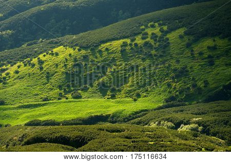 Green hills in the mountains. Sunny summer day. Bushes of alpine pine and juicy grass on the slopes