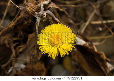 Yellow Dandelion. Dandelion. Close-up of Dandelion. Dandelion flower