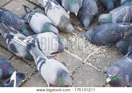 Pigeons peck food on the tile on the street in winter
