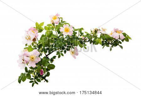 Dog rose Flowers isolated on white background