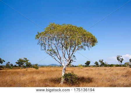 Savanna meadow and melaleuca tree in Prathong island Phang Nga Thailand.