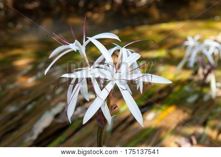 Rare Crinum Thaianum Or Water Lily Or Water Onion